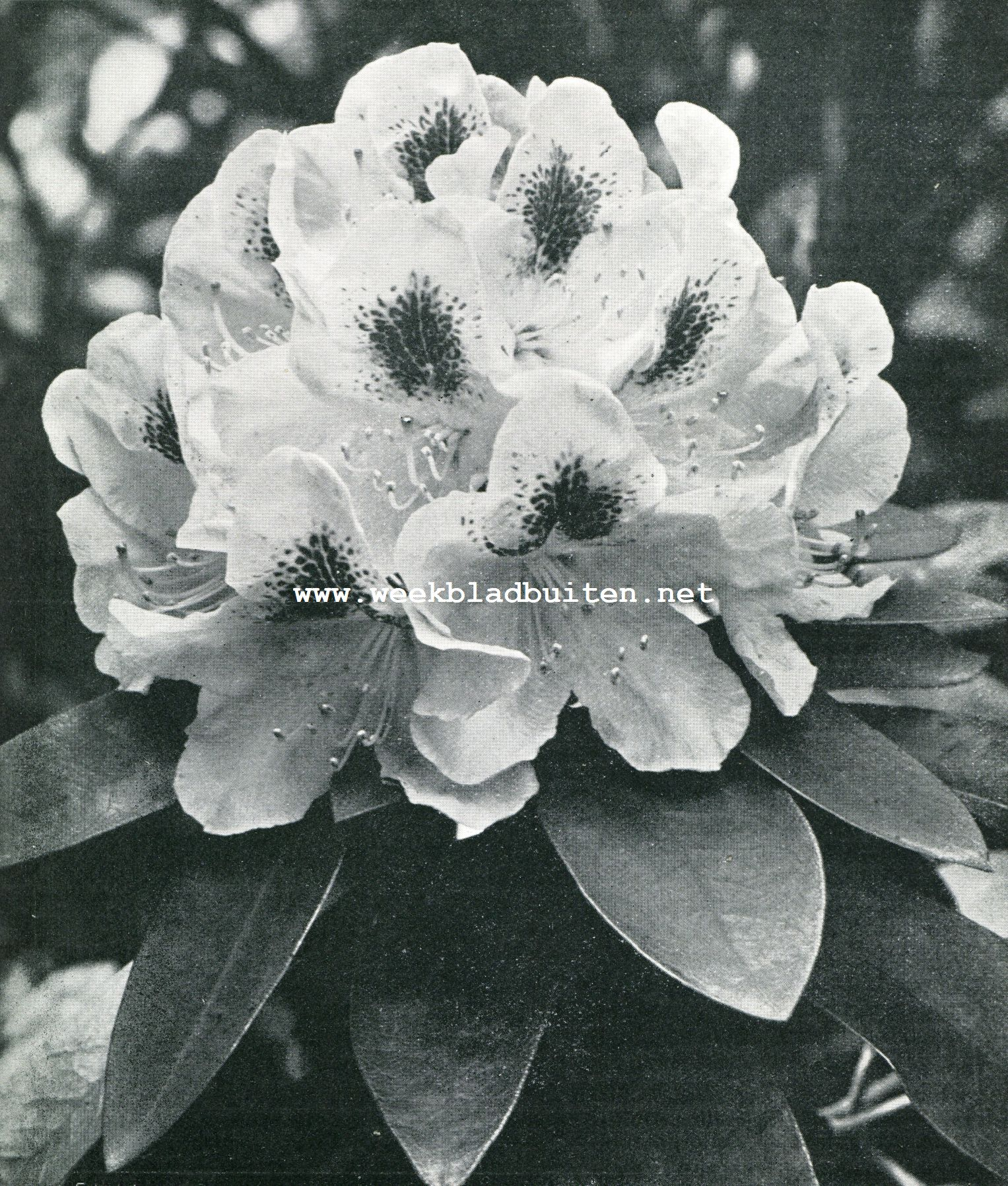 RHODODENDRONS 2