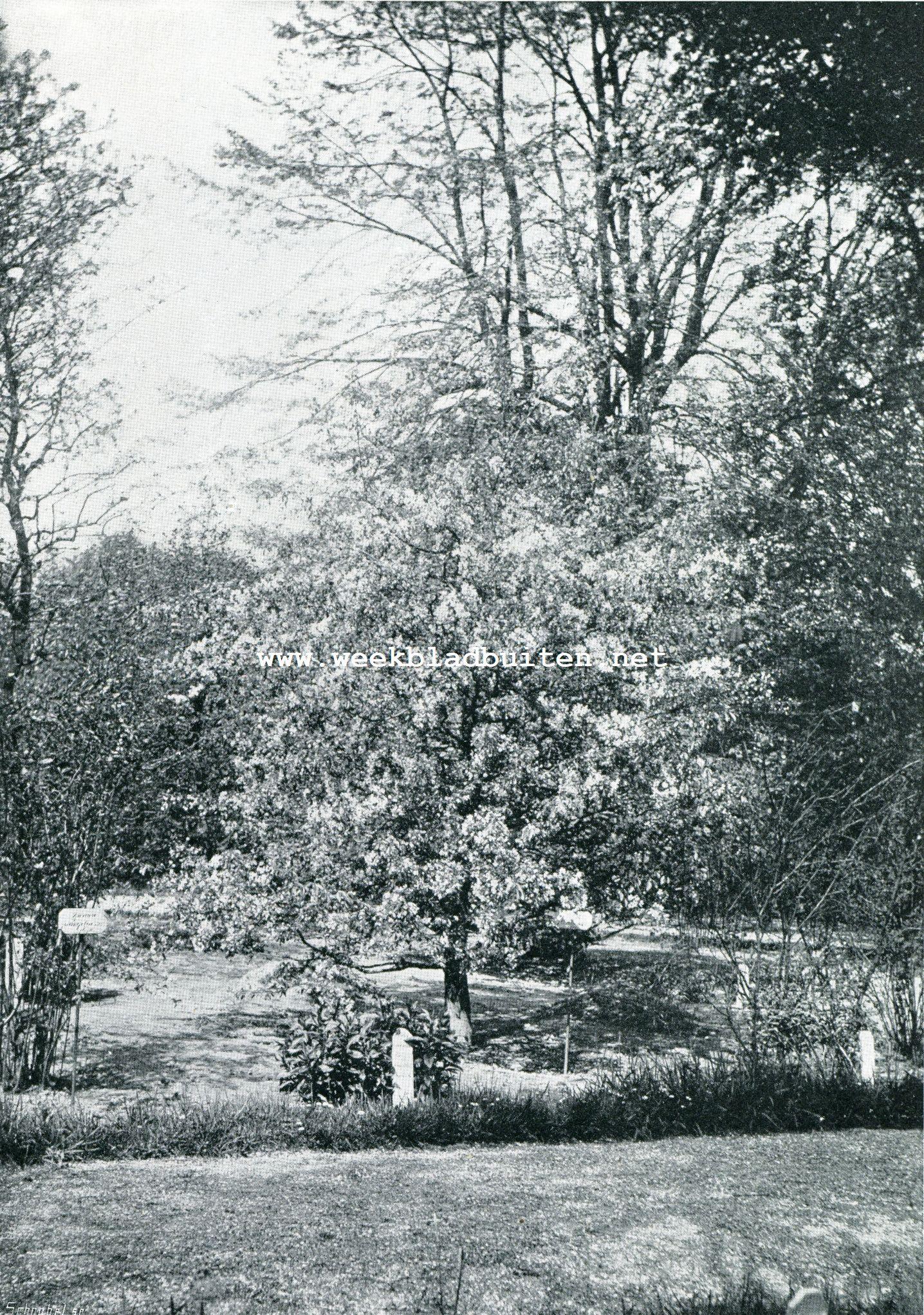 FORSYTHIA SUSPENSA (in het plantsoen te Leiden voor den zomersnoei)