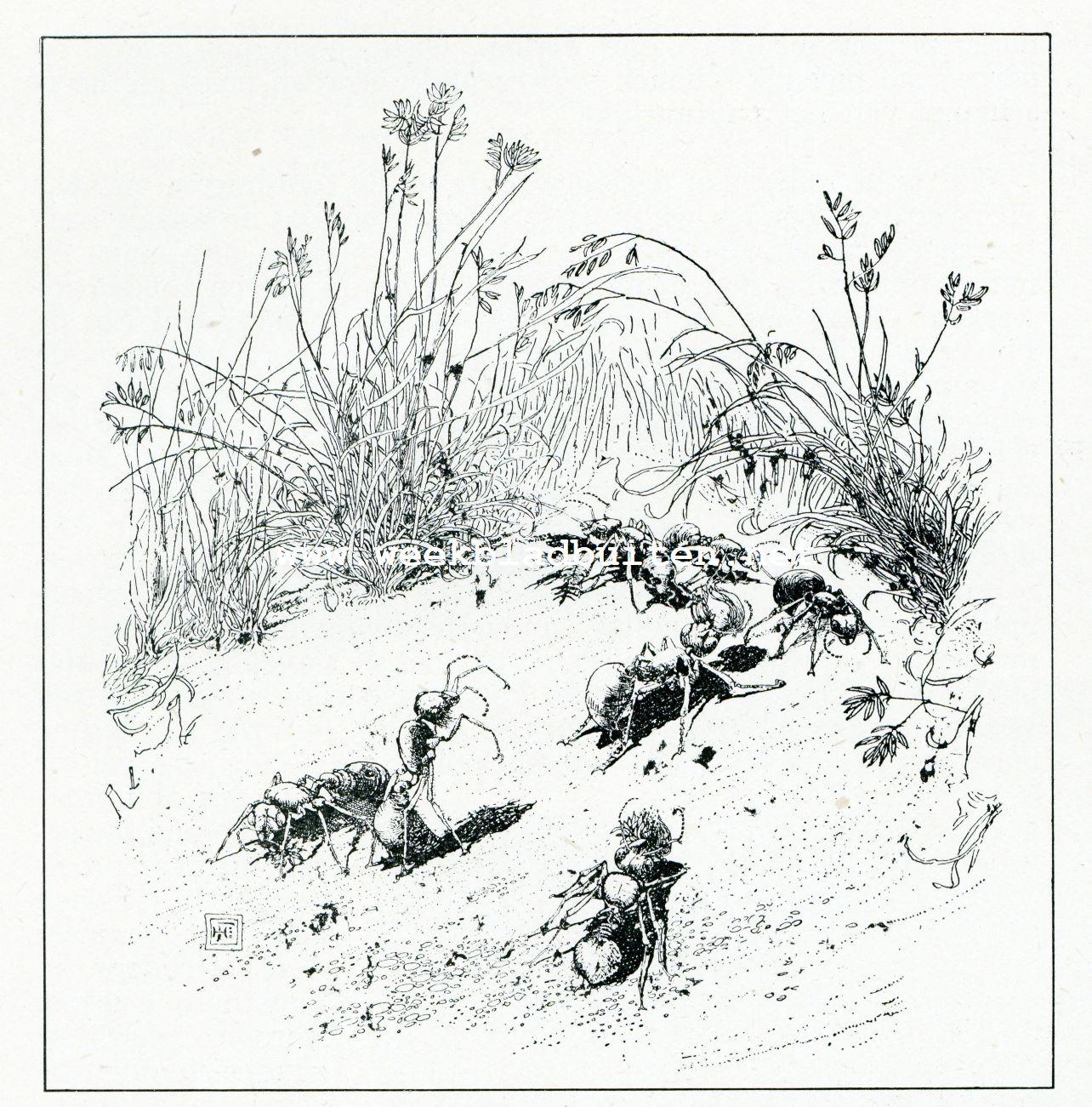 Bij de mieren. In een oogstveld. De mieren zamelen buffelgras