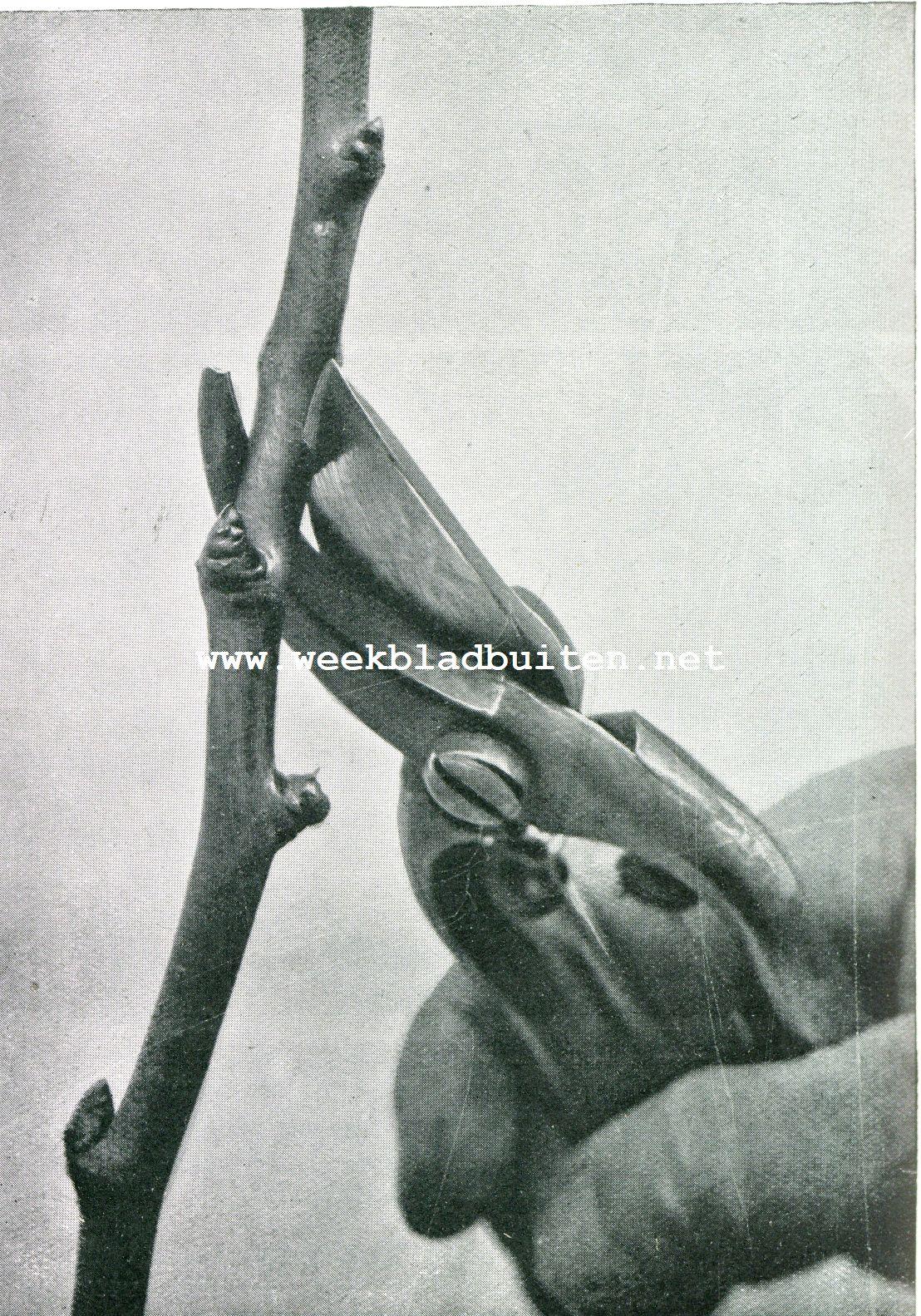 Hoe moet men het gereedschap gebruiken bij den boomsnoei. Verkeerde wijze van het houden der schaar. Hier wordt de schaar onhandig gebruikt. De haak op den onderkant van de tak gezet, zal door den druk bij het afknippen het hout kneuzen. Een dergelijke handelwijze zou het snoeioog beschadigen, tenzij men met een hieltje snoeide, dat wil zeggen een goed eind boven het oog