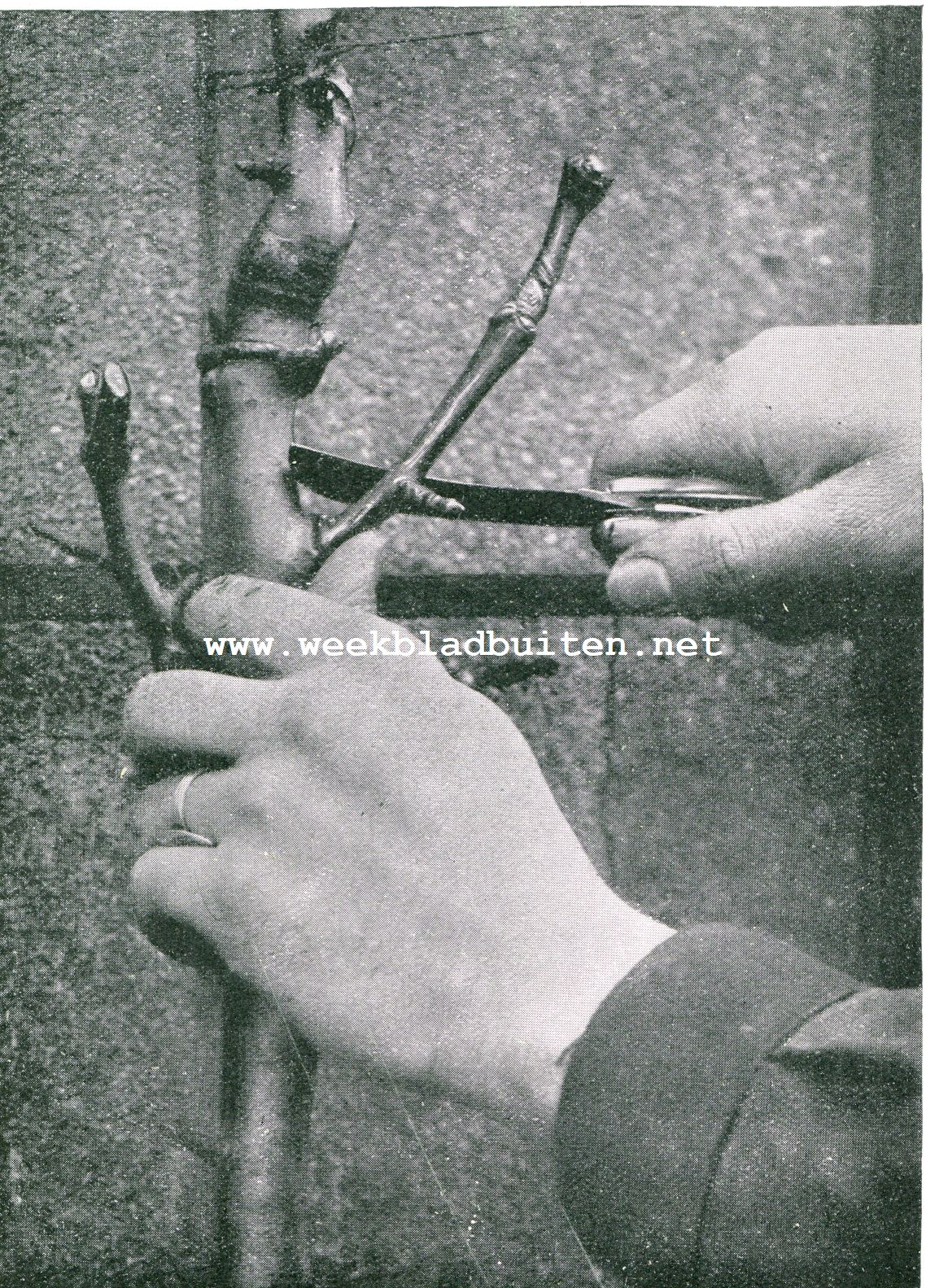 Hoe moet men het gereedschap gebruiken bij den boomsnoei. Hoe het snoeimes moet gehouden worden. Terwijl de linkerhand de tak onbeweeglijk vasthoudt, plaatse men de duim tegen het ondereinde van den af te snijden tak, neme het mes in de volle rechterhand en snijdt de tak in eens af, schuin naar boven