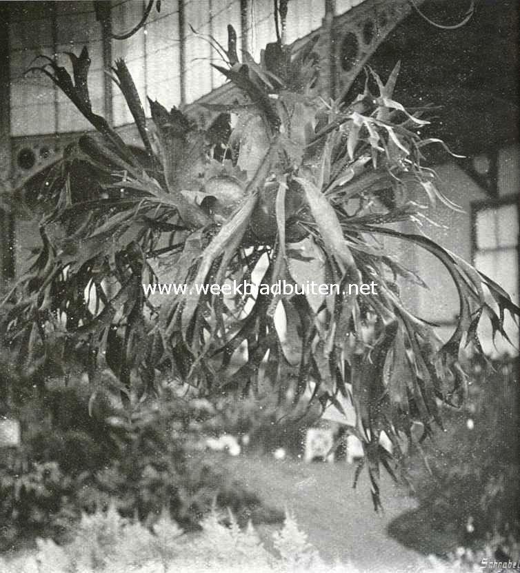 Platycerium Willinkii, ingezonden door den Hortus te Groningen op de groote plantenkeuring te Groningen, waar zij een certificaat voor cultuur verwierf