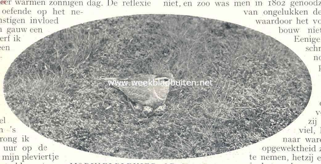 Morinelplevier op haar nest