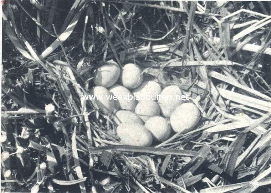 Nest met eieren van de meerkoet