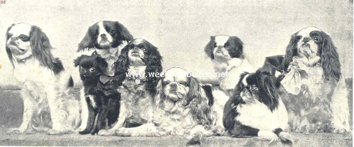 Toy-Spaniels. Groep Toy-Spaniels