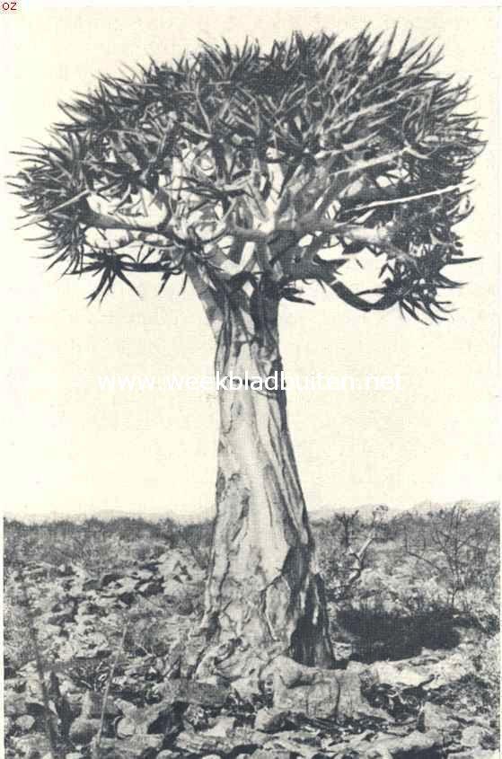 Een nog niet zeer oud exemplaar van den Canarischen Drakenbloedboom. (Dracaena Draco L.)