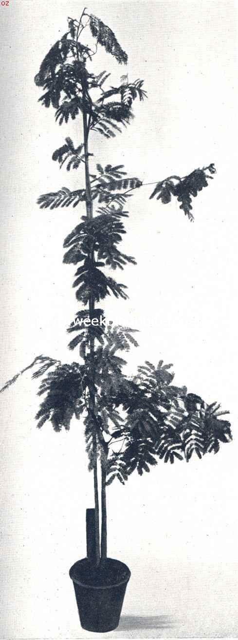 Acacia Cornigera, in een pot gekweekt
