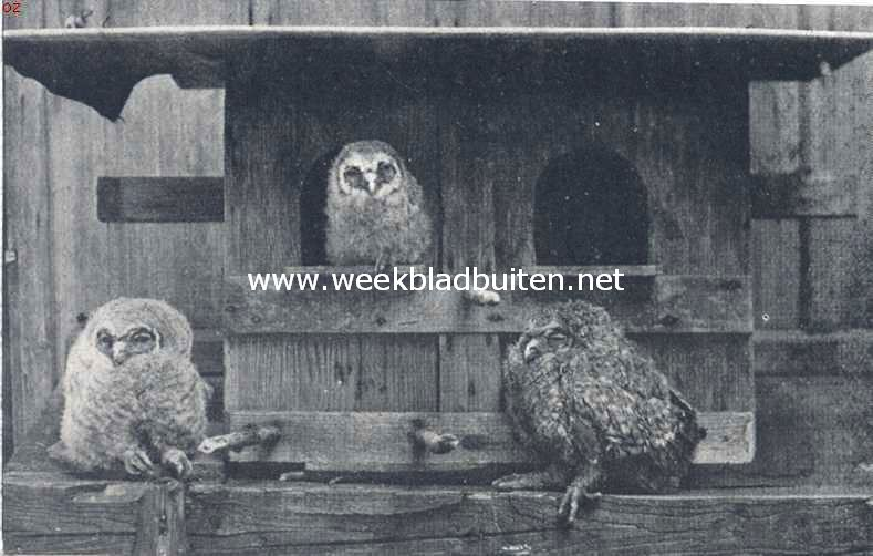 Vogelleven. Jonge boschuilen voor hun geboortehuis, een verlaten duiventil