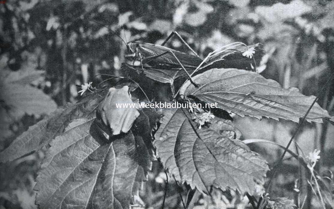 Sabelsprinkhaan met boomkikker. Foto´s uit K.O. Bartels: