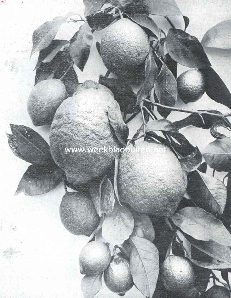 In de citroengaarden van Menton. Citroenen van Menton
