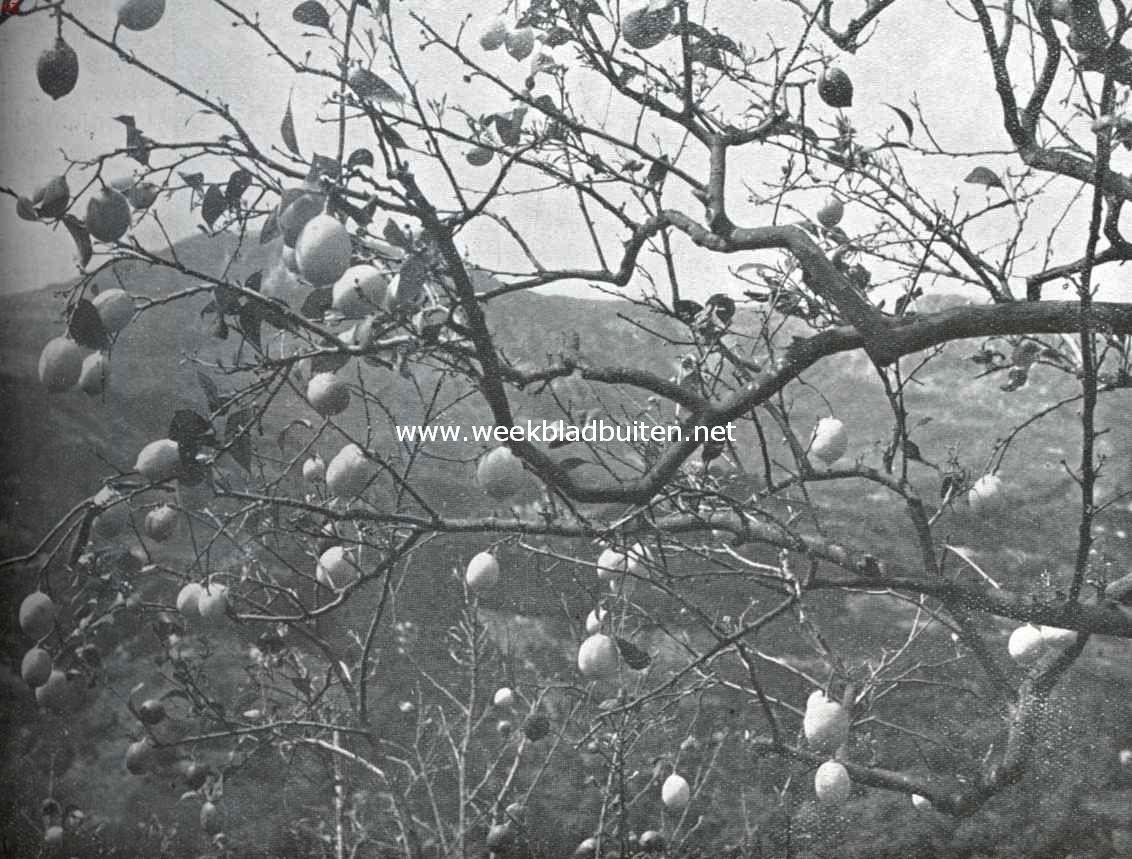 In de citroengaarden van Menton. Cibrus Limonum