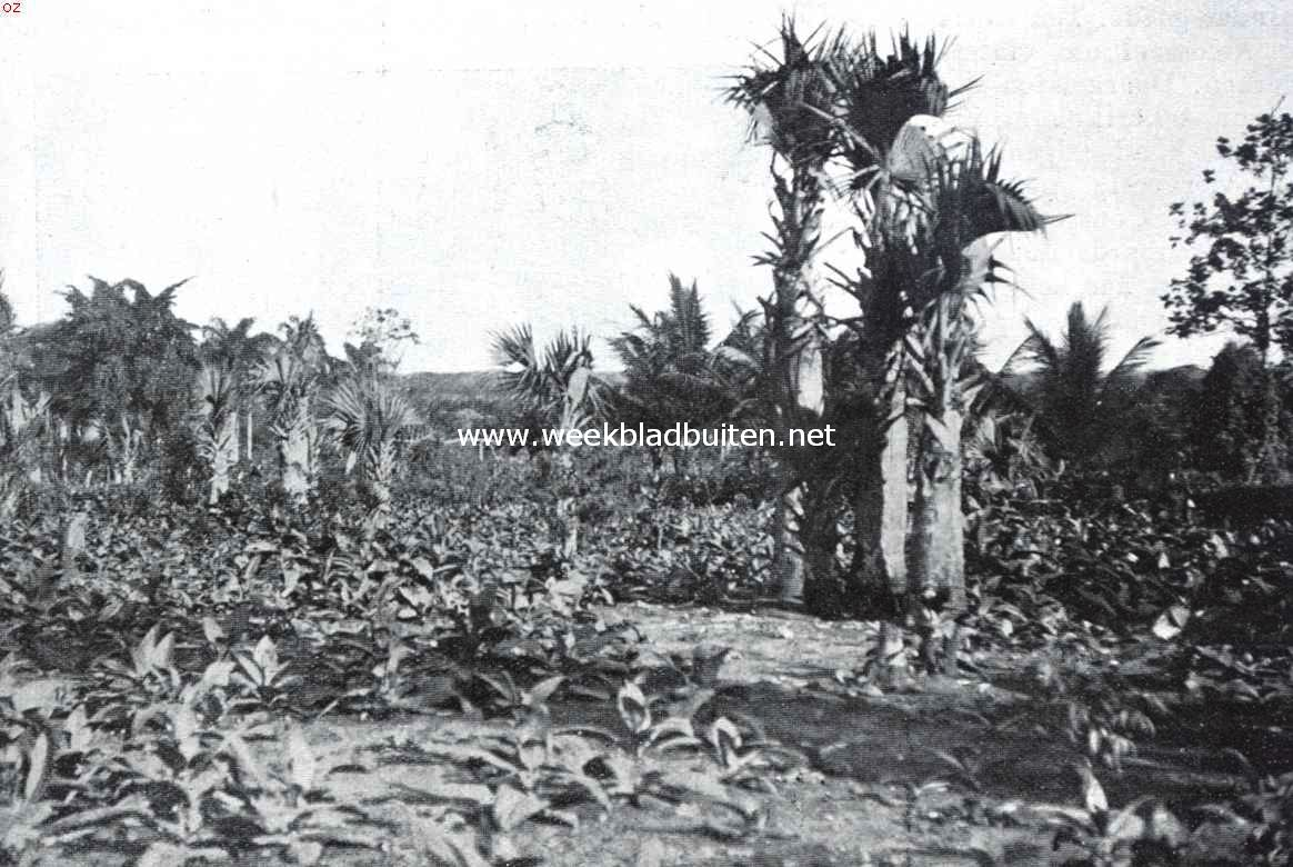 Tabak tusschen de palmen van La Vega op Santo Domingo